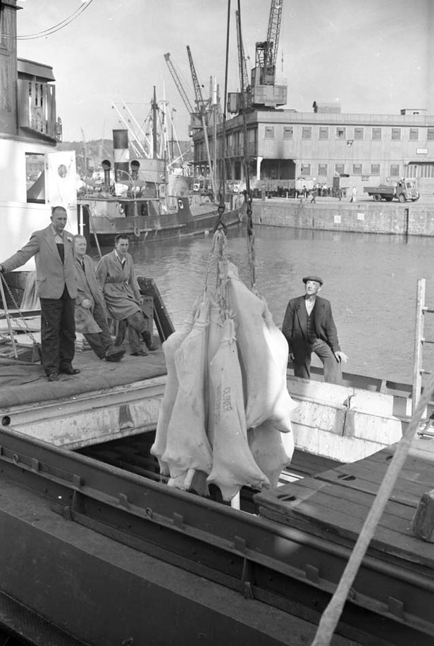 Frozen meat carcasses being unloaded